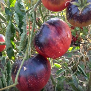Лучшие сорта томатов 2020: итоги года