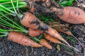 Календарь обработки свеклы и моркови от болезней и вредителей