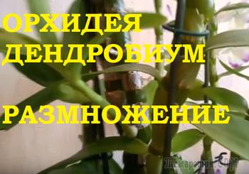 Орхидея Дендробиум- самый простой и эффективный способ размножения!