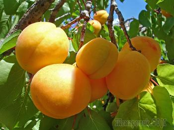 Выращивание абрикосов в средней полосе – как добиться хорошего урожая в неблагоприятных условиях