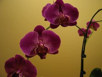 Фаленопсис: размножение орхидеи