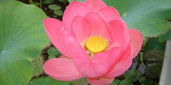 Растение орехоносный лотос - полезные свойства плодов и листьев, выращивание и уход в домашних условиях