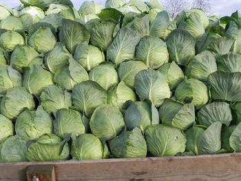 Описание голландской капусты Атрия
