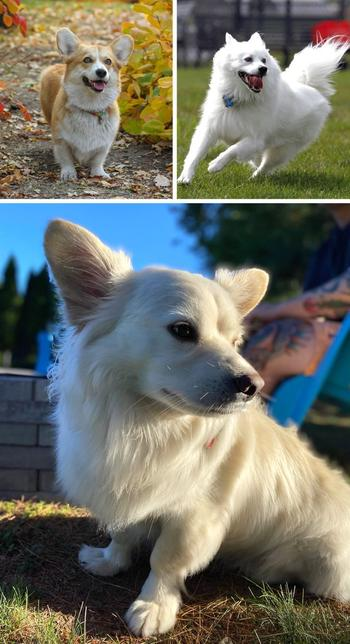 Собаки-метисы, которые взяли лучшее от своих породистых мам и пап