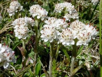 Антеннария, или Кошачья лапка – неприхотливый почвопокровник