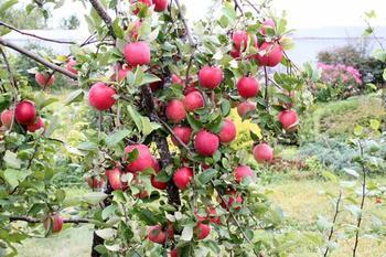 Как вырастить яблоню Орловское полосатое