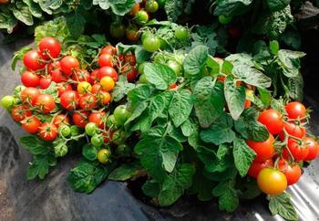 Особенности выращивания крупноплодных сортов томатов