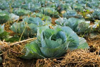 Что можно посадить после капусты на следующий год?