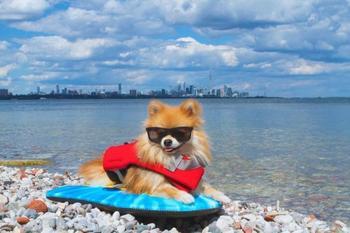 Пом-Пом Чуви, стильный пёсик, который наслаждается своей жизнью