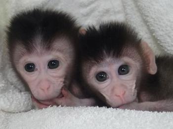 Получены первые генно-модифицированные обезьяны