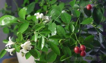 Муррайя (мурайя): выращивание и уход в домашних условиях