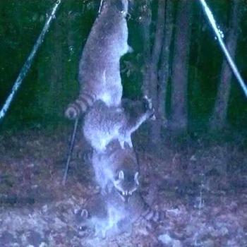 11 снимков с фотоловушек, которые доказывают, что в лесу у животных творится черт пойми что
