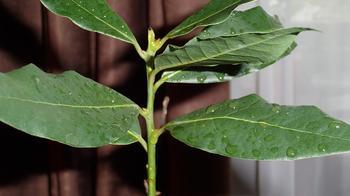 Лавровое дерево уход в домашних условиях