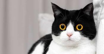 Эти глаза напротив: кот Иззи, от взгляда которого невозможно оторваться