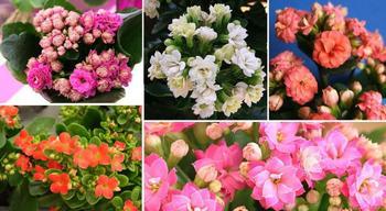 Домашний доктор - цветок каланхоэ: лечебные свойства и способы применения