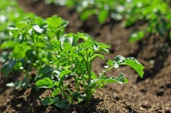 Посадка картофеля в июле – все о плюсах метода и особенностях выращивания