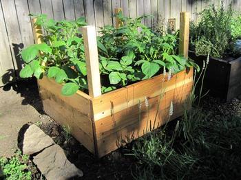 Как вырастить картофель в бочке или ящике: все тонкости процесса