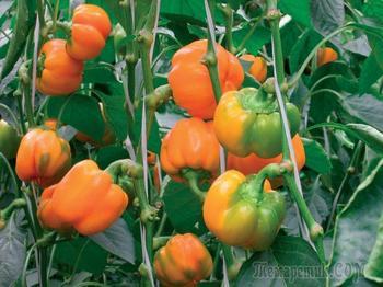 Оптимальный способ выращивания перца в теплице и в открытом грунте