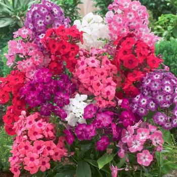 Флоксы садовые