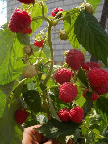 Малина Крепыш: преимущества и особенности выращивания малинового дерева