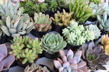 Рекомендации по размножению — посадке и выращиванию суккулентов