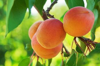 Почему не плодоносит абрикос?