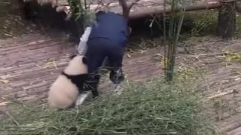Маленькая панда, мешающая работать, развеселила пользователей Сети