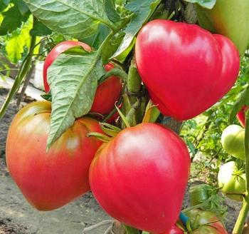 Лучшие сорта томатов для Подмосковья: для теплицы и открытого грунта