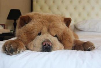Очаровательный пес Чаудер, 11 фото чуда, похожего на медвежонка