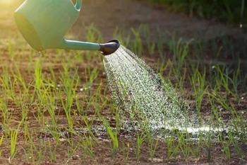 Особенности полива лука, выращиваемого для получения репки, в открытом грунте