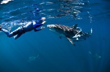 Огромные дружелюбные акулы