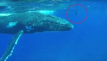 .50-тонный горбатый китзащитил дайвера оттигровой акулы, ионазаписала этонавидео
