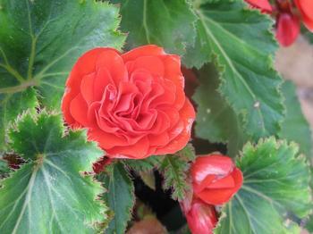 Уход за Бегонией в домашних условиях – разновидности цветка с фото