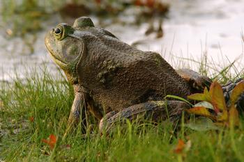 Самая большая лягушка в мире: удивительный мир земноводных