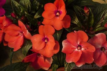 Цветы ахименесы в домашних условиях: уход и выращивание