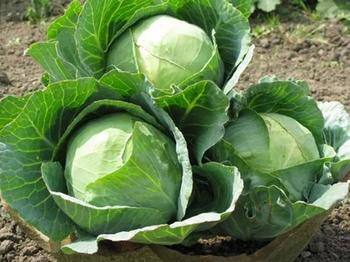 Как ухаживать за капустой в открытом грунте?
