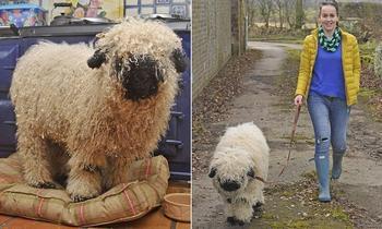 История про ягнёнка Марли,который считает себя псом