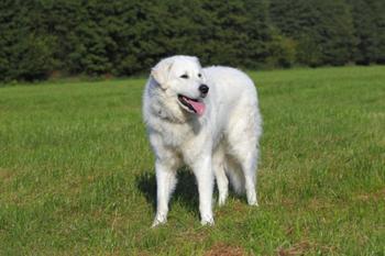 Шарпей, хотошо и Все-все-все: Самые древние породы собак, которые сегодня встретишь нечасто