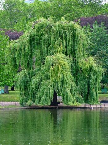 Ива - дерево женской магии.