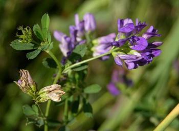 Народная медицина: 11 трав, которые помогут похудеть