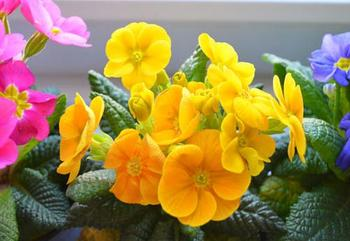 Уход за желтыми фиалками в домашних условиях: основные правила