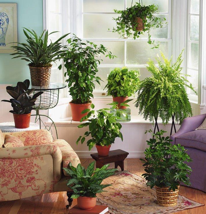 Суеверия и приметы о комнатных цветах драцена кактусы и другие