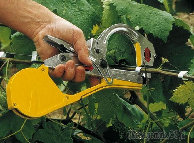 Как подвязать виноград правильно - советы дачнику
