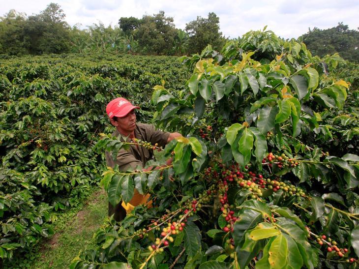 сбор кофейных зерен на плантации