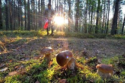 Грибное утро в лесу (Стих)