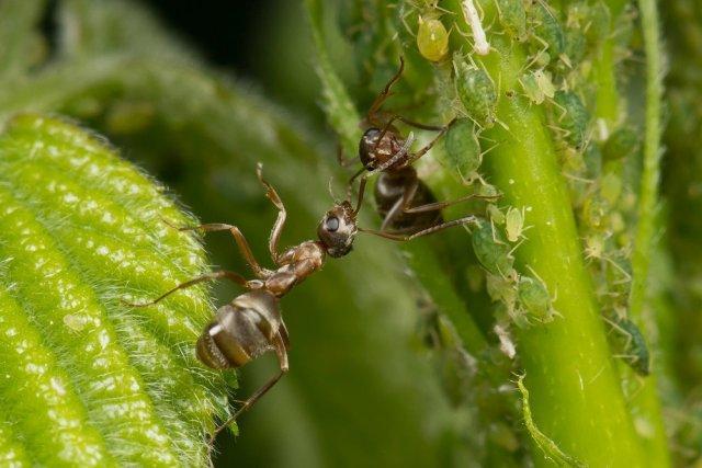 Едят ли муравьи тлю