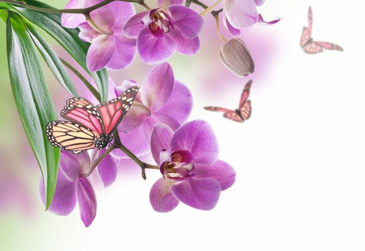 Орхидея фаленопсис Бабочка