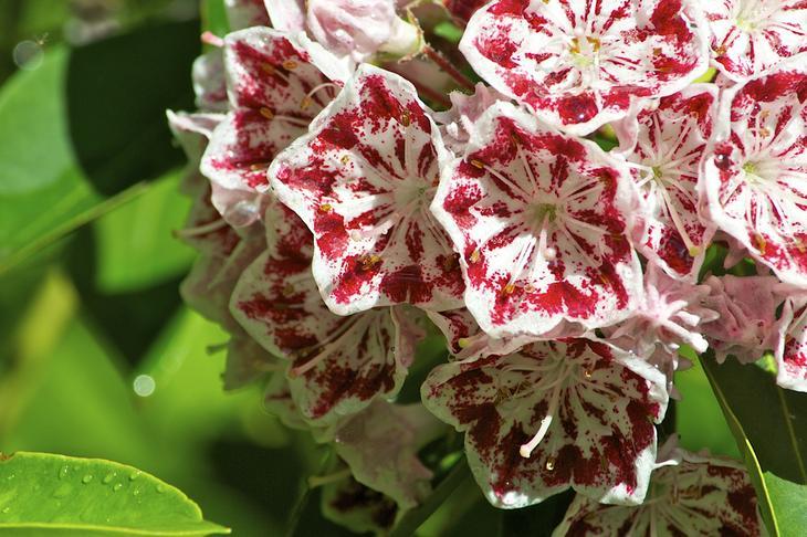 Кальмия широколистная. Растение содержит такие гликозиды, как андромедотоксин и арбутин. Токсичными являются почти все части кальмии широколистной. Они способны убить не только человека, но и такое крупное животное, как слон. (Distant Hill Gardens)