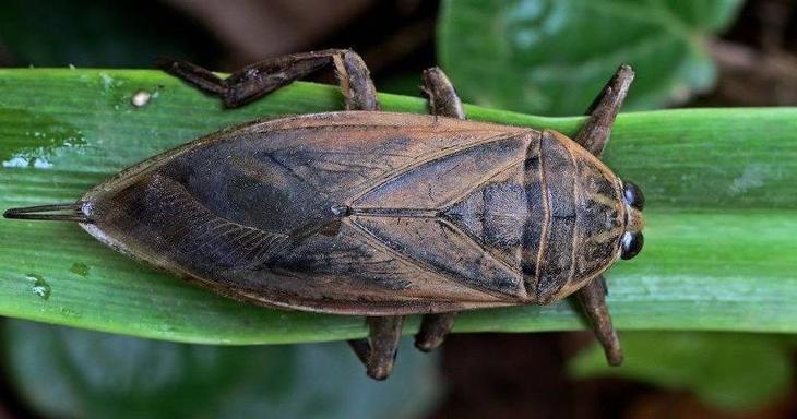 Самый большой жук - Гигантский Водяной Клоп