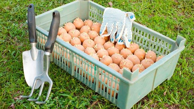 Обработка картофеля перед посадкой: 3 простых совета для большого урожая - Статья